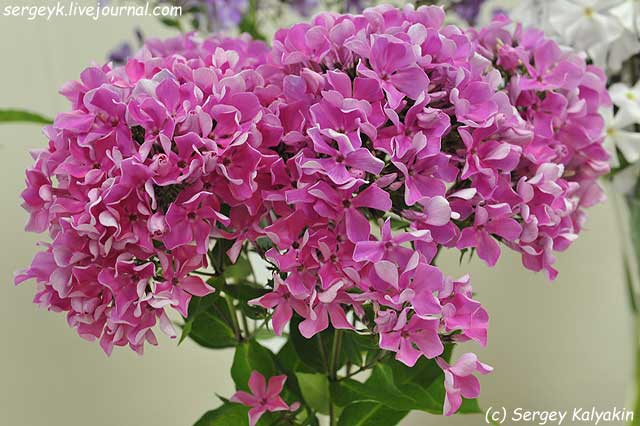Phlox paniculata Polka-Babochka (2).JPG