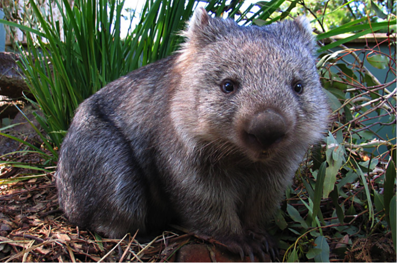 Wombats-Facts-Photos.png