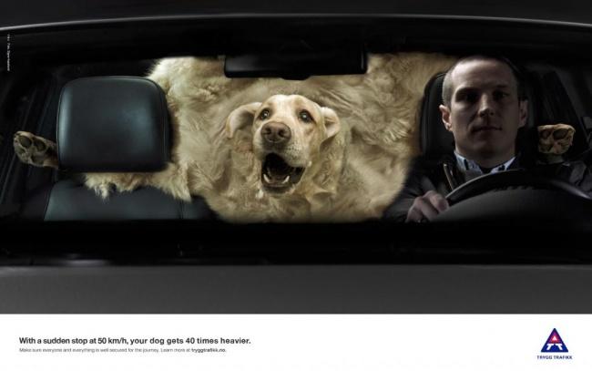 При экстренном торможении наскорости 50км/ч ваша собака становится в40раз тяжелее.