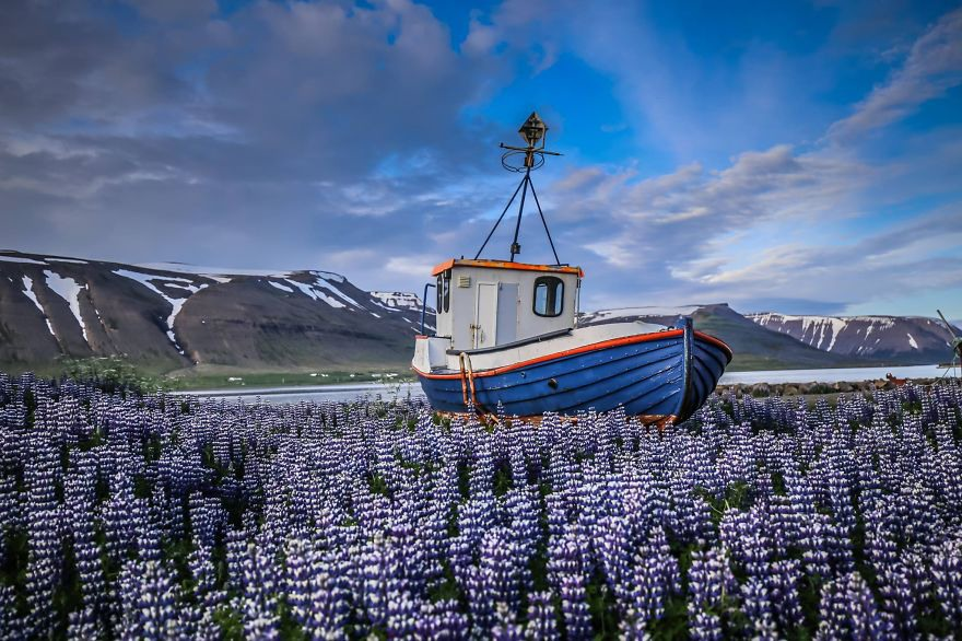 6 И завораживающие поля люпинов в Исландии