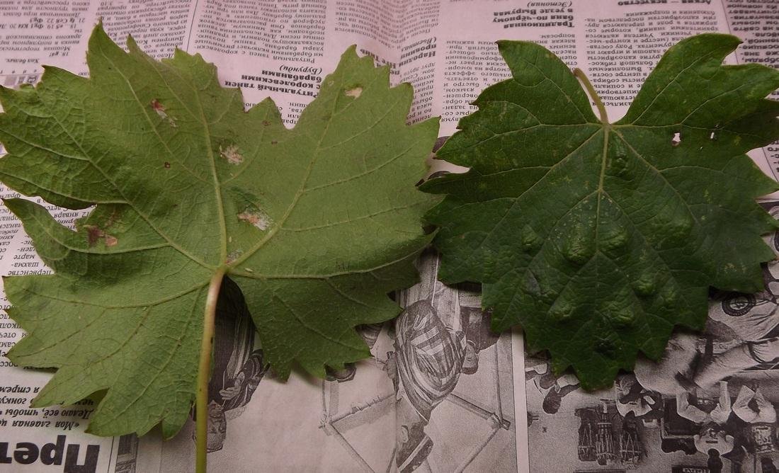 ведь листья винограда разных сортов фото с описанием лица