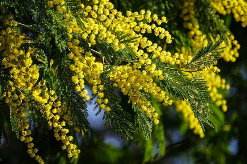 Mimosa-acacia_3936x2624.jpg
