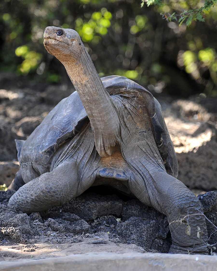 Lonesome George, the last known individu