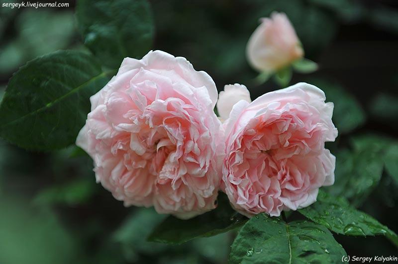 Rosa Eglantyne  (5).JPG