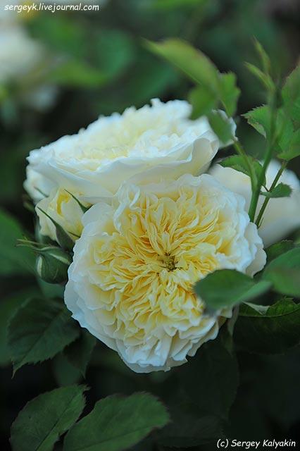Rosa The Pilgrim  (2).JPG