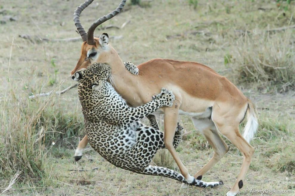 3. Леопарды имеют особое строение лодыжек, которое помогает им быстро вскарабкиваться на деревь