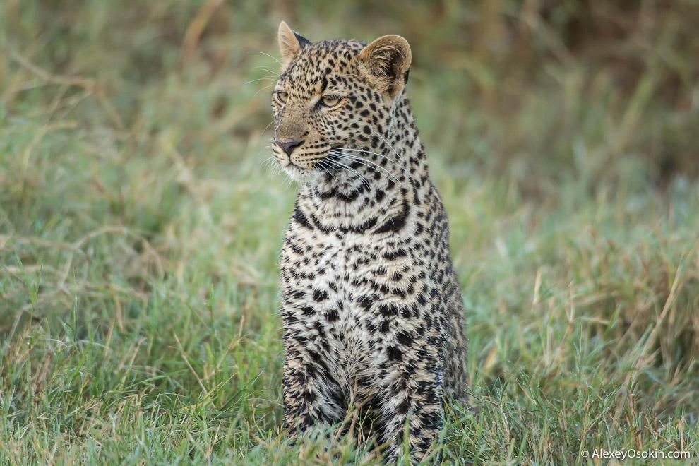 9. Также у леопардов прекрасное зрение, позволяющее им увидеть добычу за два километра.