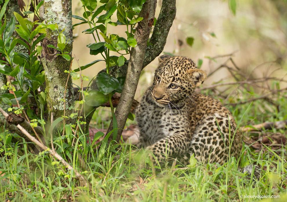 10. Дымчатый леопард (Neofelis nebulosa)— несмотря на название, относится к соверше