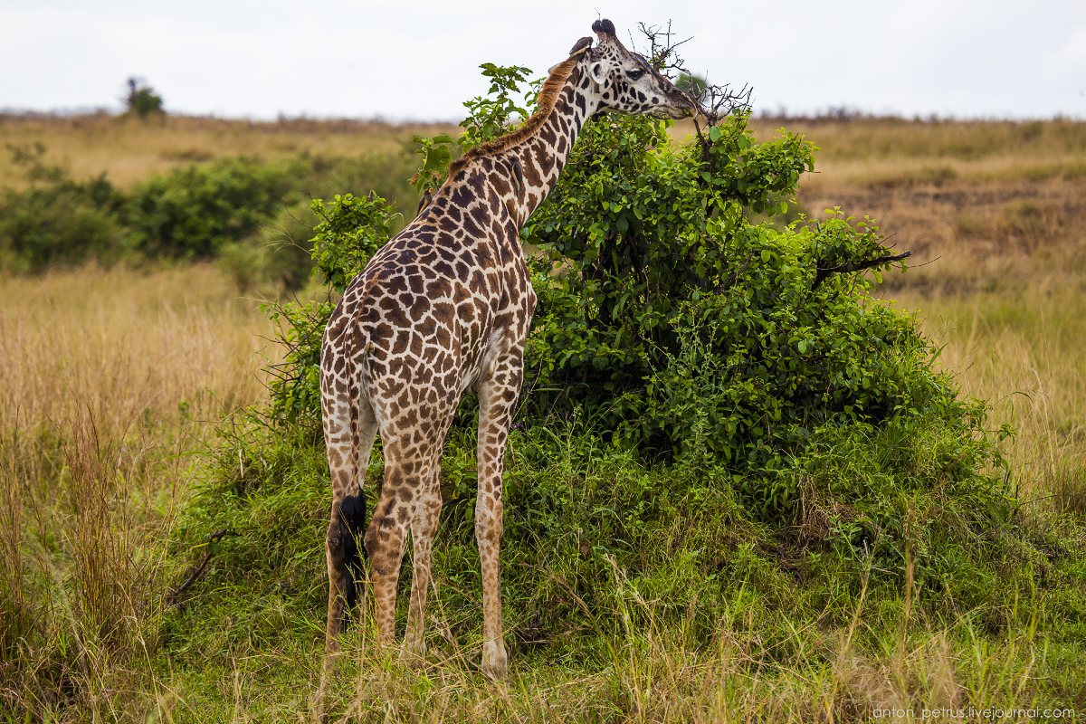 Парк Масаи Мара, Кения