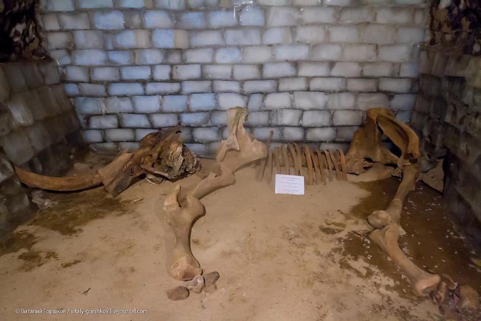 15. В том же году на реке Ленинградской на севере Таймыра были найдены останки мамонта возрасто