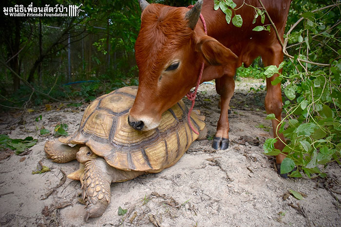 В заповеднике произошло необычайное событие: теленок познакомился с черепахой…