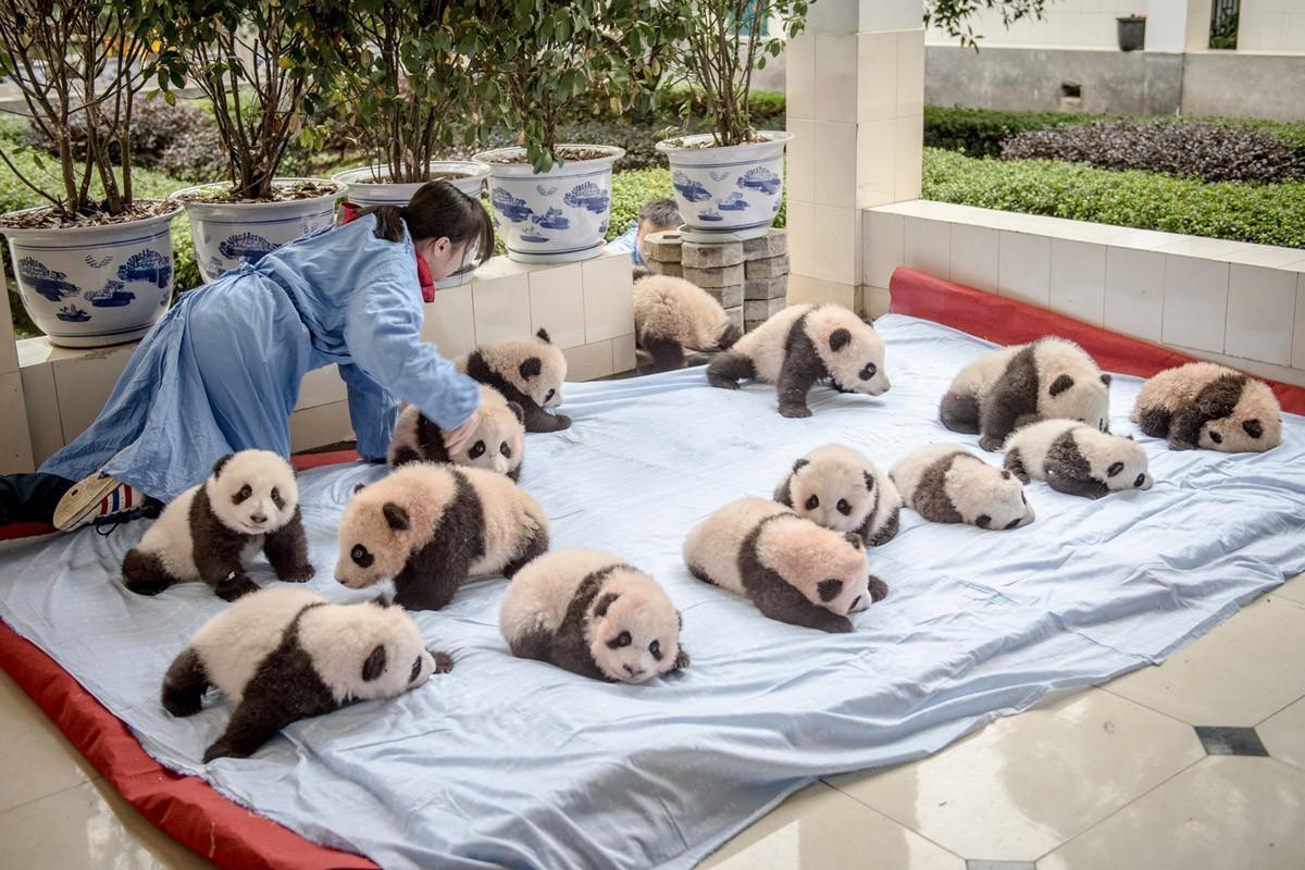14 детенышей панды на одеяле в центре разведения и исследования панд. (Ami Vitale)