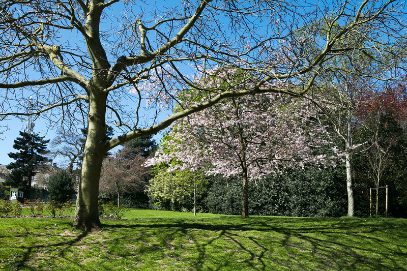 View of a Cherry Tree in Blossom Lining a Pathway through a Beautiful Garden in Spring