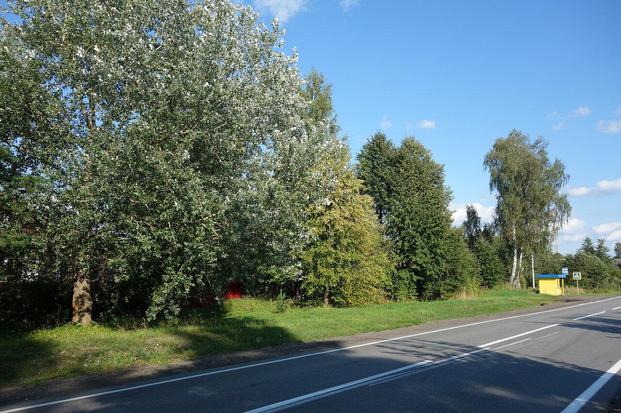 осина на ветру, шоссе на Пошехонье