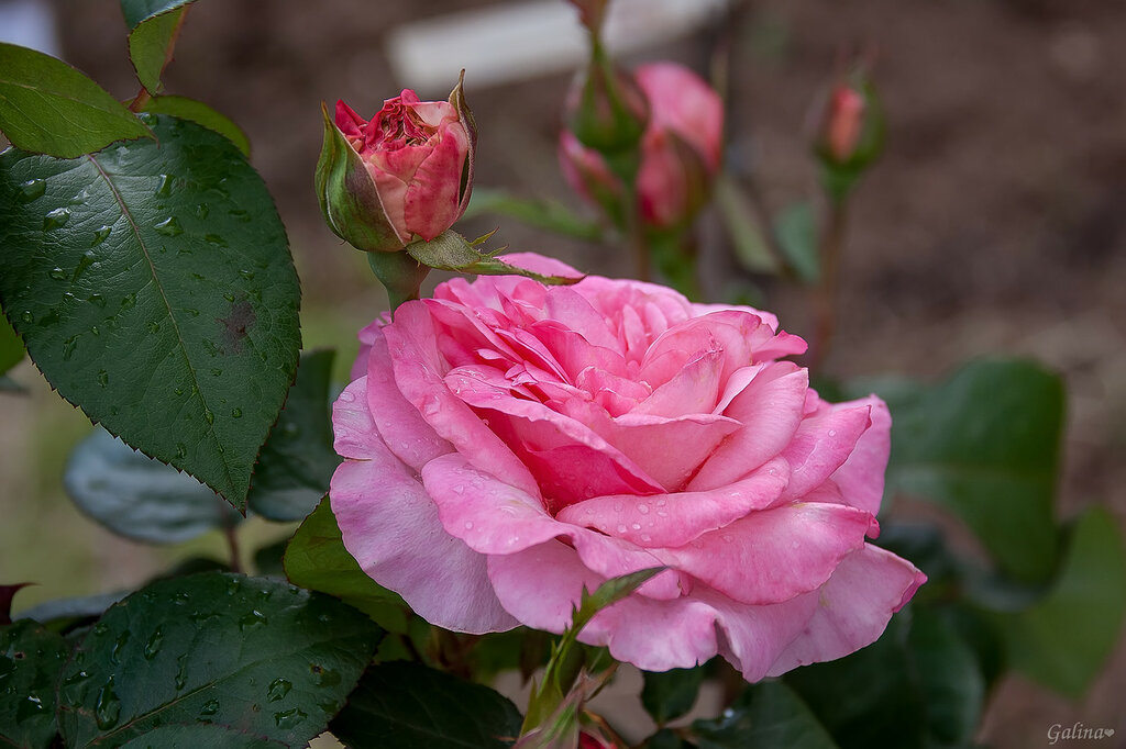 Розовая роза, аромат весны, Розовая роза вестница любви...