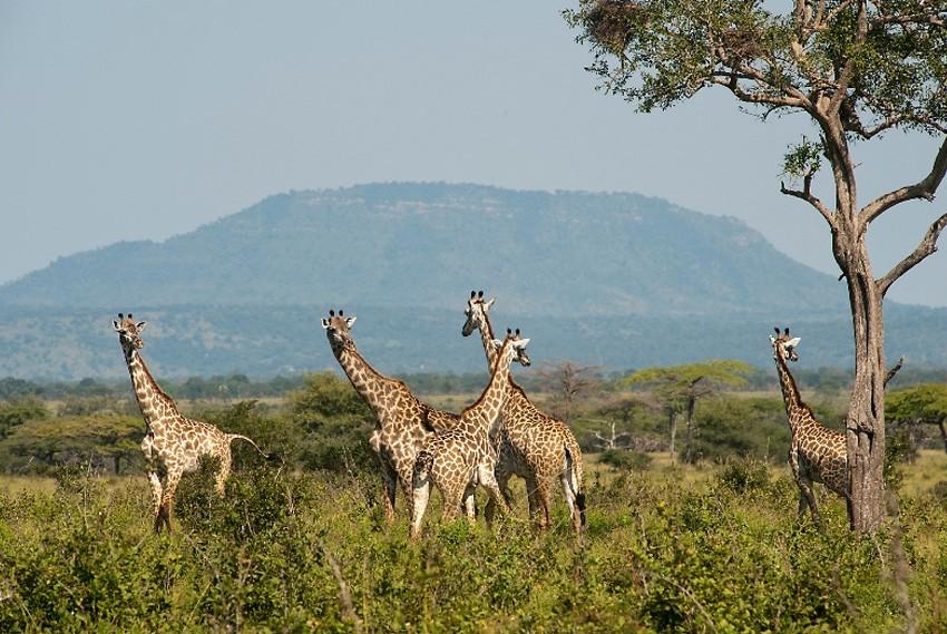 23. Селус, Танзания, Африка Резерват занимает площадь в 54 600 км?, что составляет около 5% территор