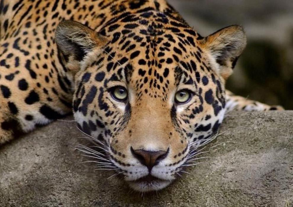 Выделяют светлый и тёмный тип окраски этого леопарда.