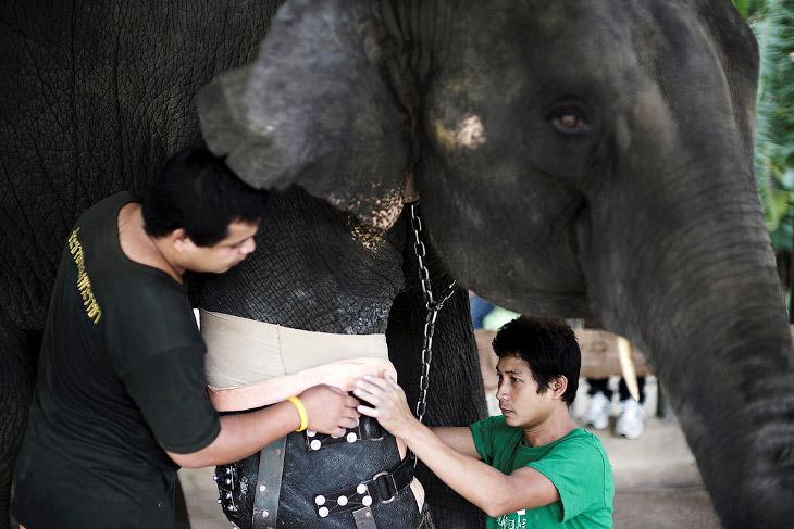 Спустя 2 года местный хирург Therdchai Jivacate соорудил слону протез, и у Моши началась новая жизнь