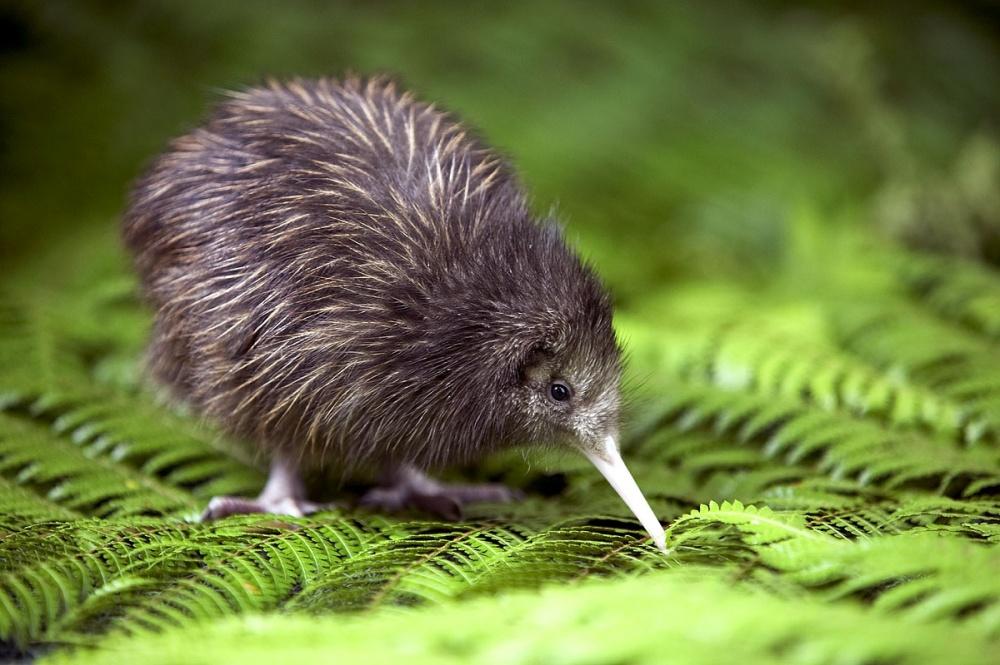 Птица киви водится только в Новой Зеландии.