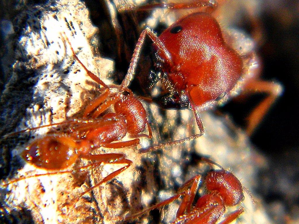 Флоридский муравей-жнец Научное название: Pogonomyrmex badius. Регион обитания: Северная Америка. Оп