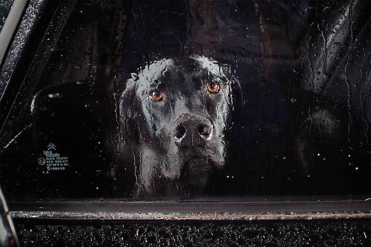 Собаки, которых закрыли в машинах