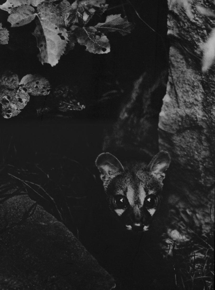 1935. Лиса