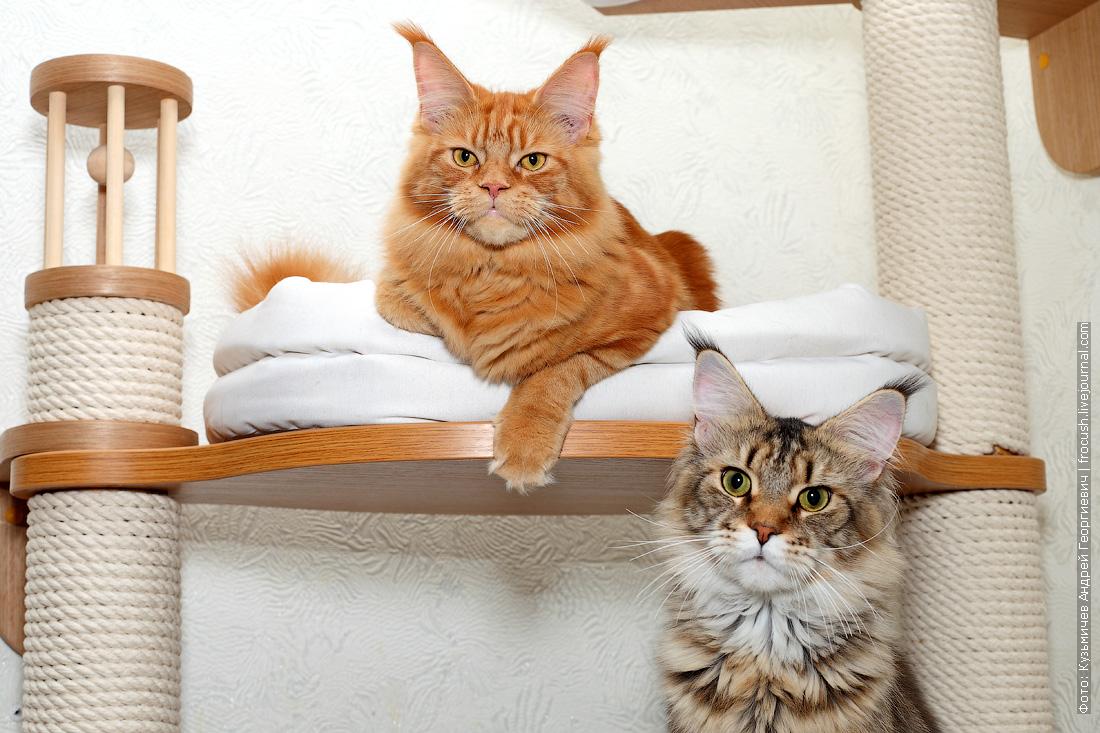 Мейн-кун кошка красная