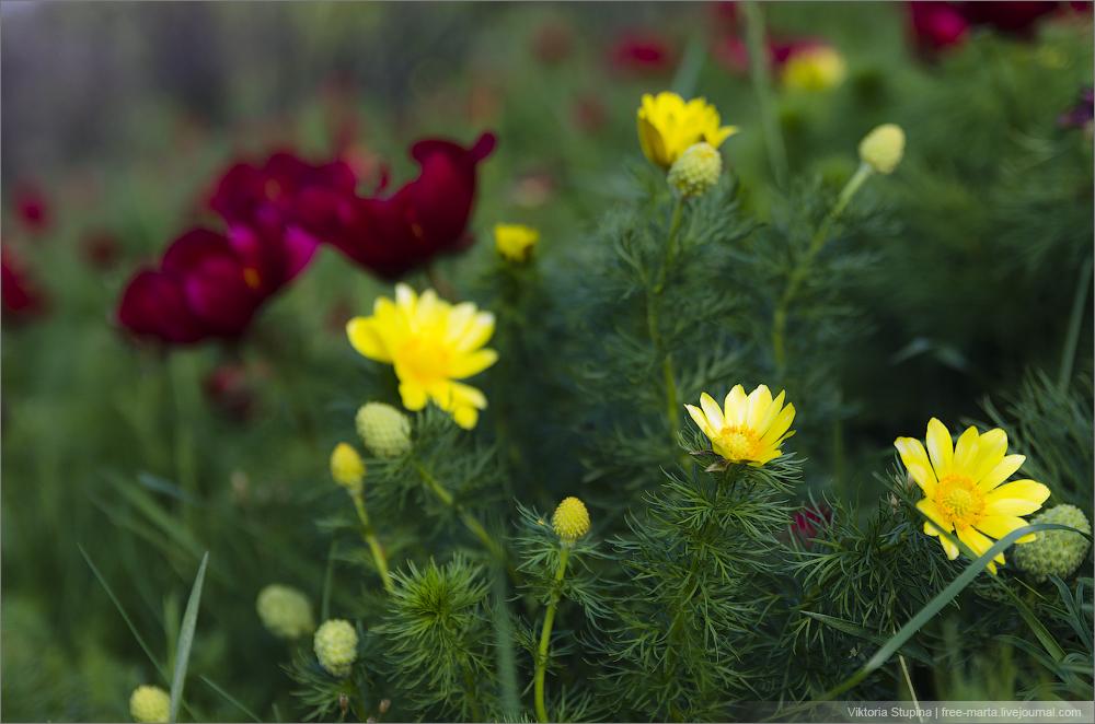 желтый адонис - горицвет