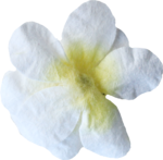 kimla_always_flower2.png