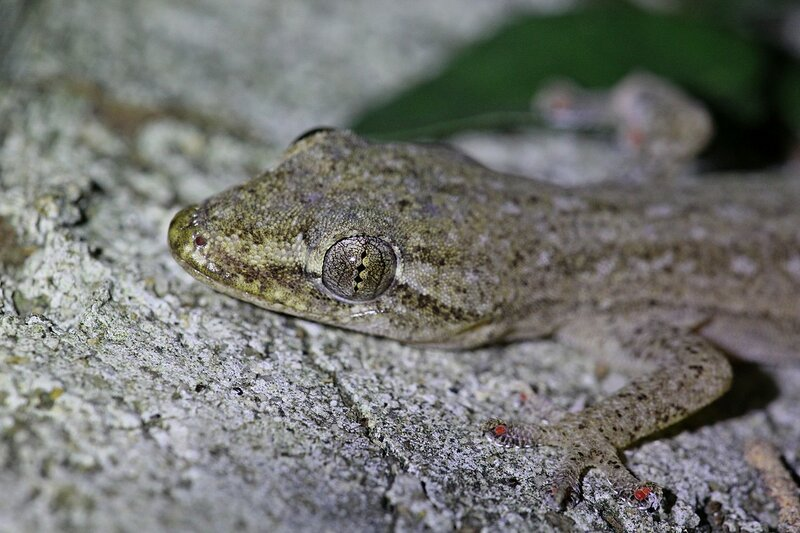 Вертикальный зрачок, чешуя и лапки геккона полупалыого домового (Hemidactylus frenatus)