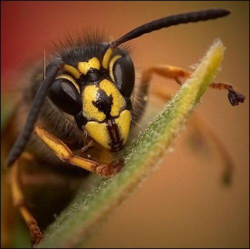 Если вашего питомца укусила оса или пчела ГЮНП