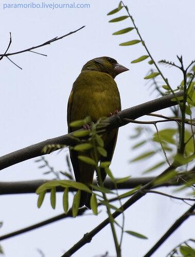 Самец зеленушки (Carduelis chloris), сем.вьюрковые, отряд воробьеобразные/в парке Port Aventura