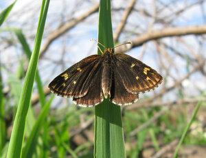 s:бабочки,c:тёмно-бурые,размах крыльев до 30 мм