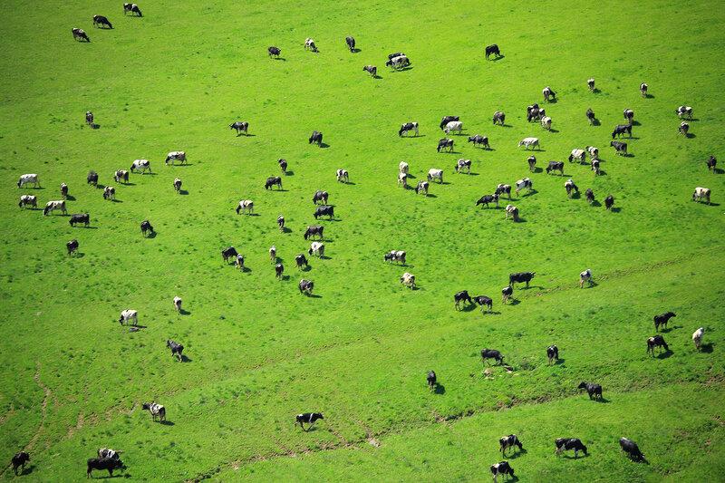 Коровки