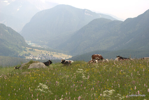 Alps,field,flowers,spring,cows