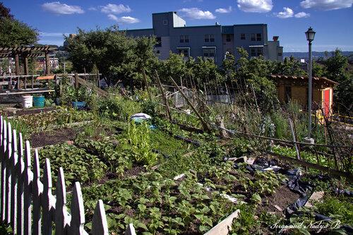 Огороды в Сиэтле. В Америке тоже хотят кушать!