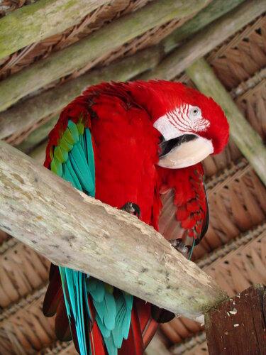 попугай Педро