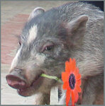 Свинушка с цветком.jpg