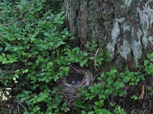 Дрозд-белобровик (Turdus iliacus) Автор фото: Владимир Брюхов