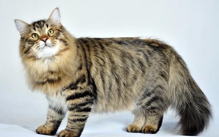 Красивые породы кошек