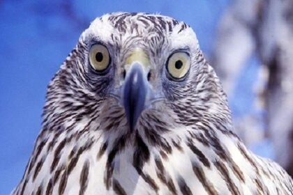 Ватиканский ястреб защитит голубей мира от хищных крылатых