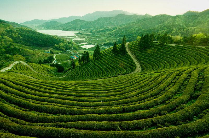 Чайная плантация в Посон, Южная Корея
