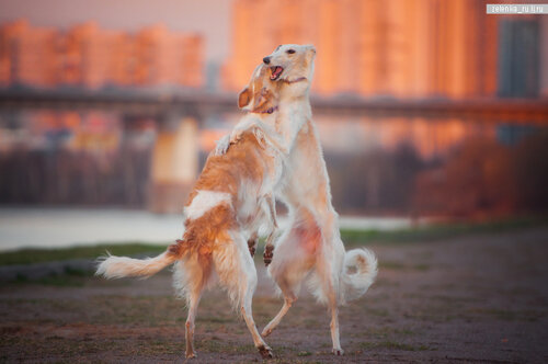 пофотографирую Ваших собак! 0_15d617_7a6963c1_L