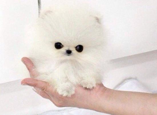Пэрис Хилтон за 13 тысяч купила самую маленькую собачку в мире