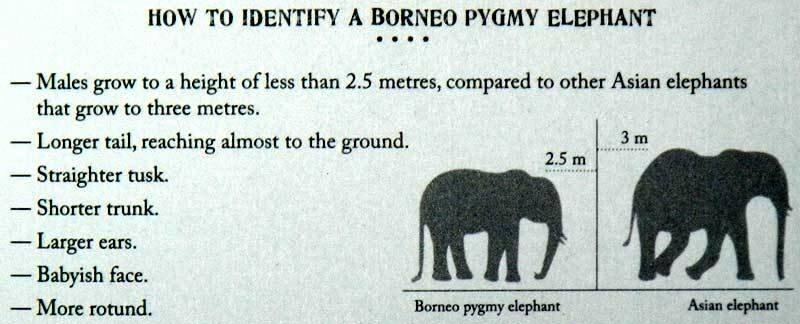 Калимантанские слоны-пигмеи