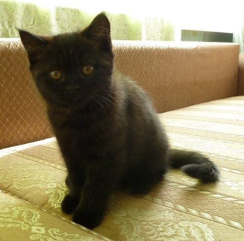 британский черный котенок