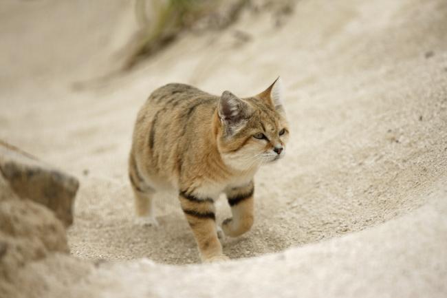 Неуловимый барханный кот появился на публике впервые за 10 лет