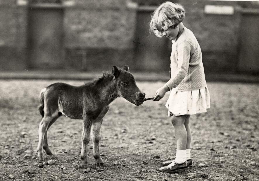 Girl feeding a one week old foal in a zoo. London, England, 1935