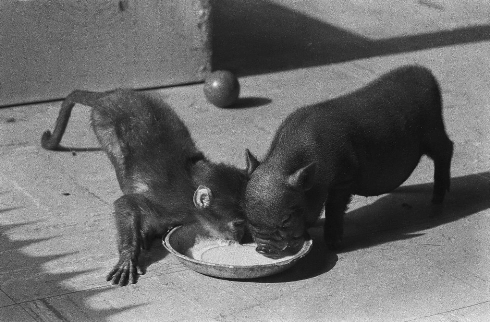Potbelly pig and ape in Artis Zoo, Amsterdam, the Netherlands, 1960