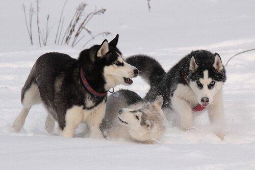 Снежные игры снежных псов